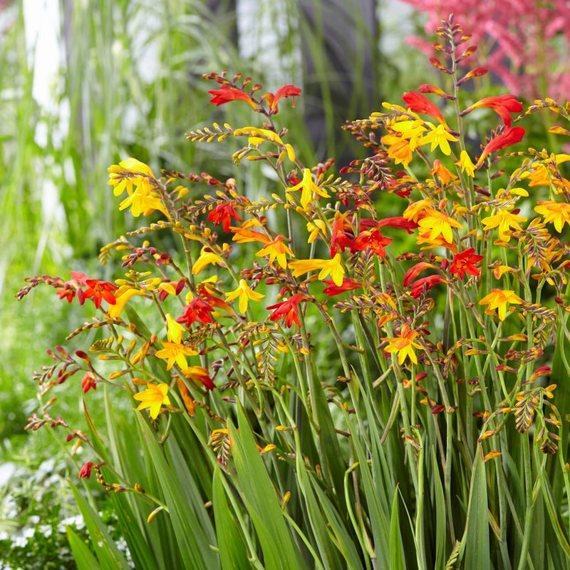 Crocosmia Glowing Embers Collection