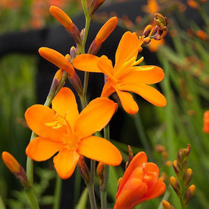 Crocosmia Gold Rush