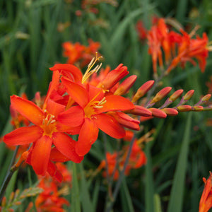 products/Crocosmia_Malahide_Castle-1.OAR.jpg