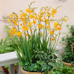 products/Crocosmia_Voyager.VISIONS_847ca936-86a1-4820-94b9-d24e4d5248a3.jpg