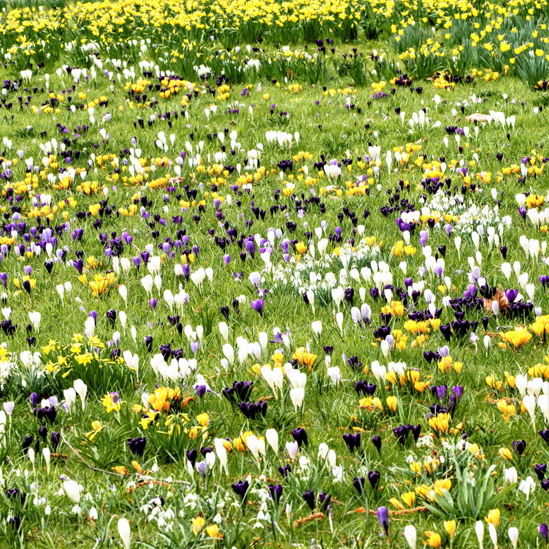 Field of large crocus