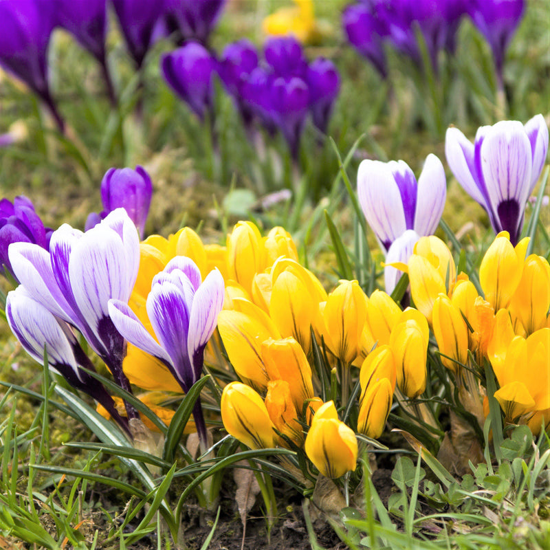 Field of colorful crocus large flowering mix