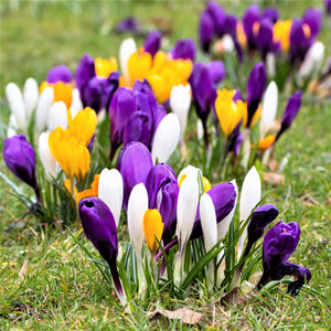 Large Crocus Flowering Mix