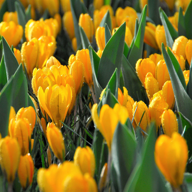 field of golden yellow crocus