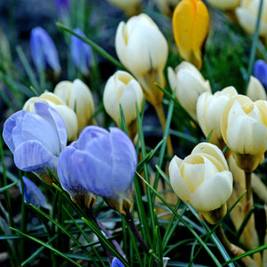 Crocus chrysanthus bulb mix for sale
