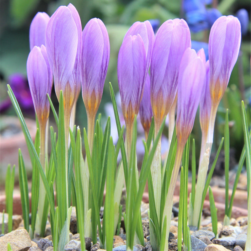 Crocus Estruscus Zwanenburg