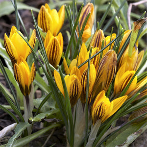 Crocus Estruscus Zwanenburg Bronze Flowers
