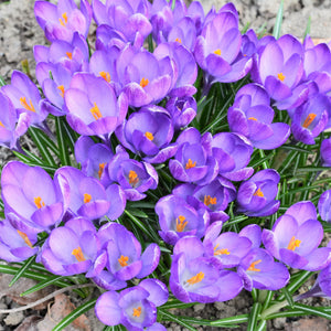 Field of multiple Crocus sativus saffron crocus