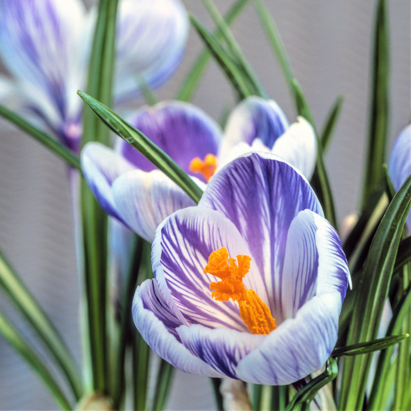 Crocus Vernus King of the Striped