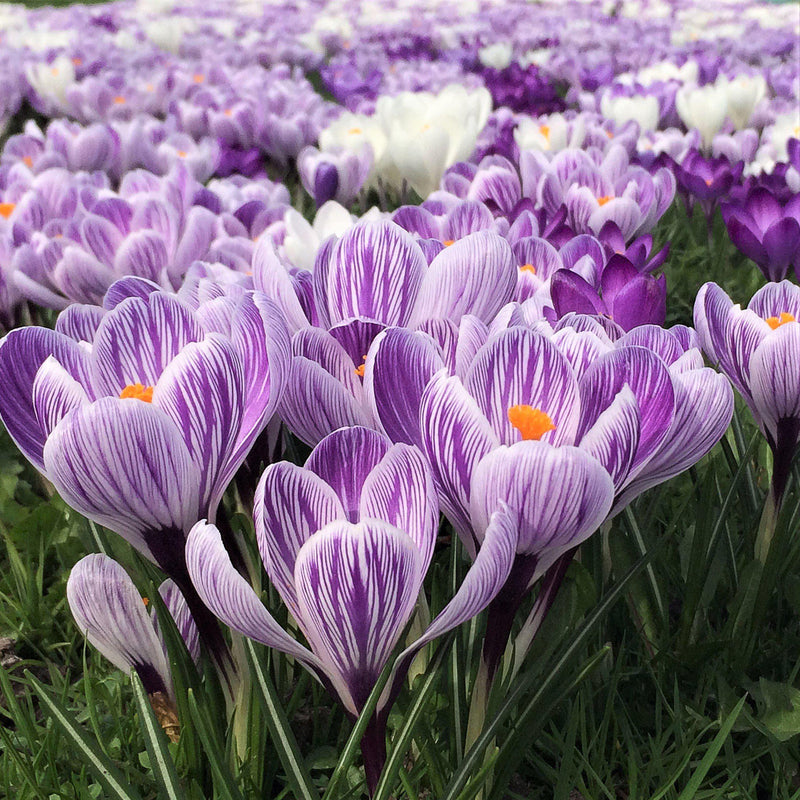 Large field of Crocus Vernus King of the Striped