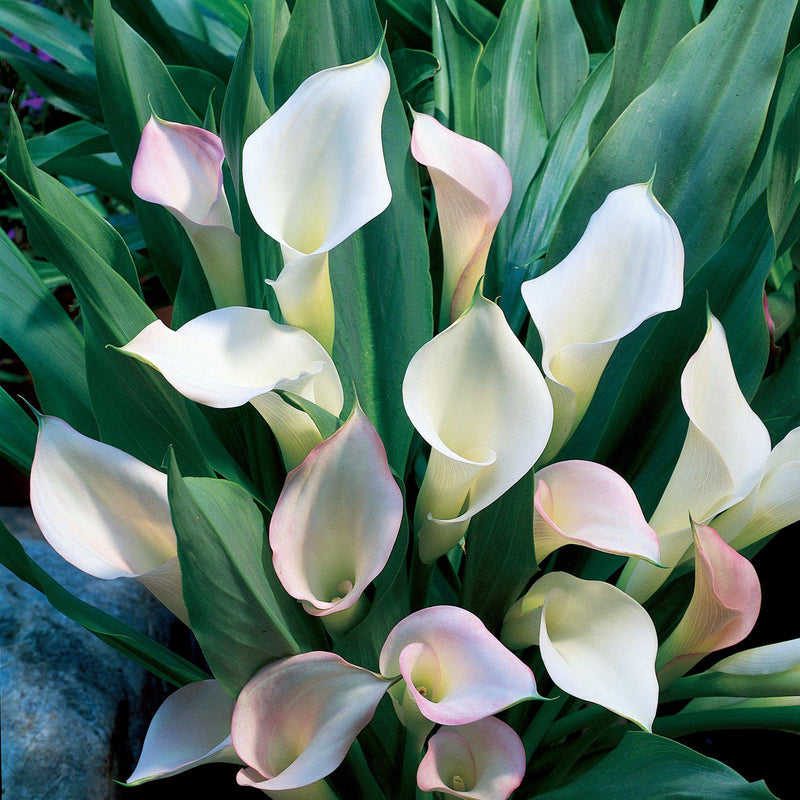 Crystal Blush Calla Lilies for Sale