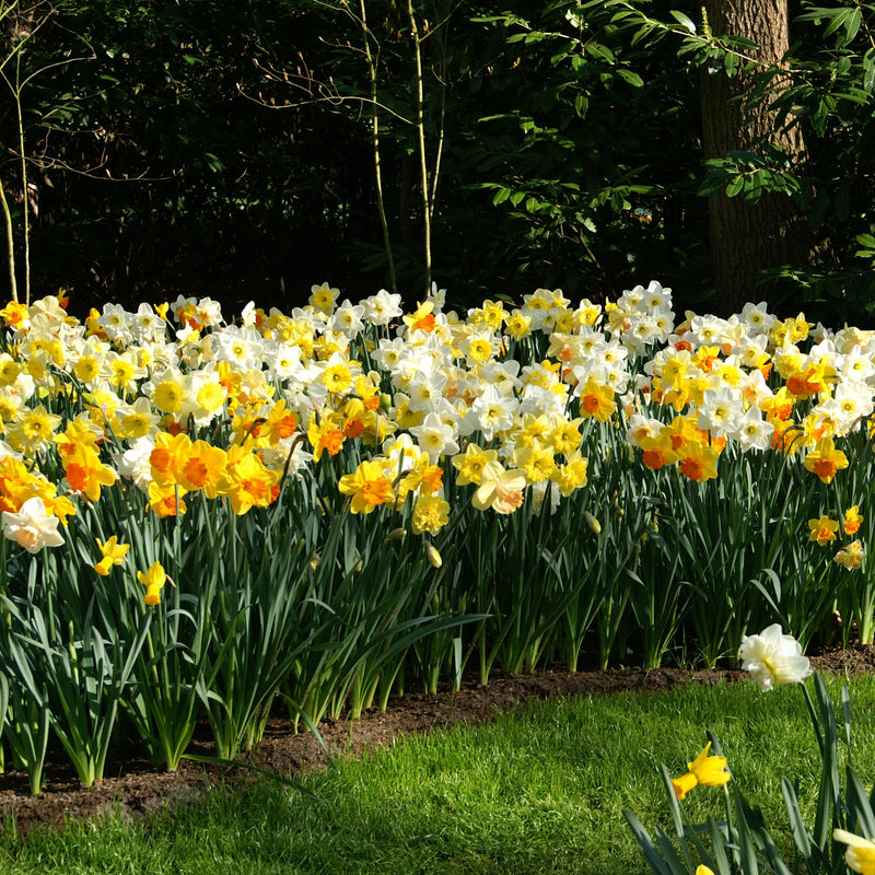 Narcissus All Spring Long Blooming Mix