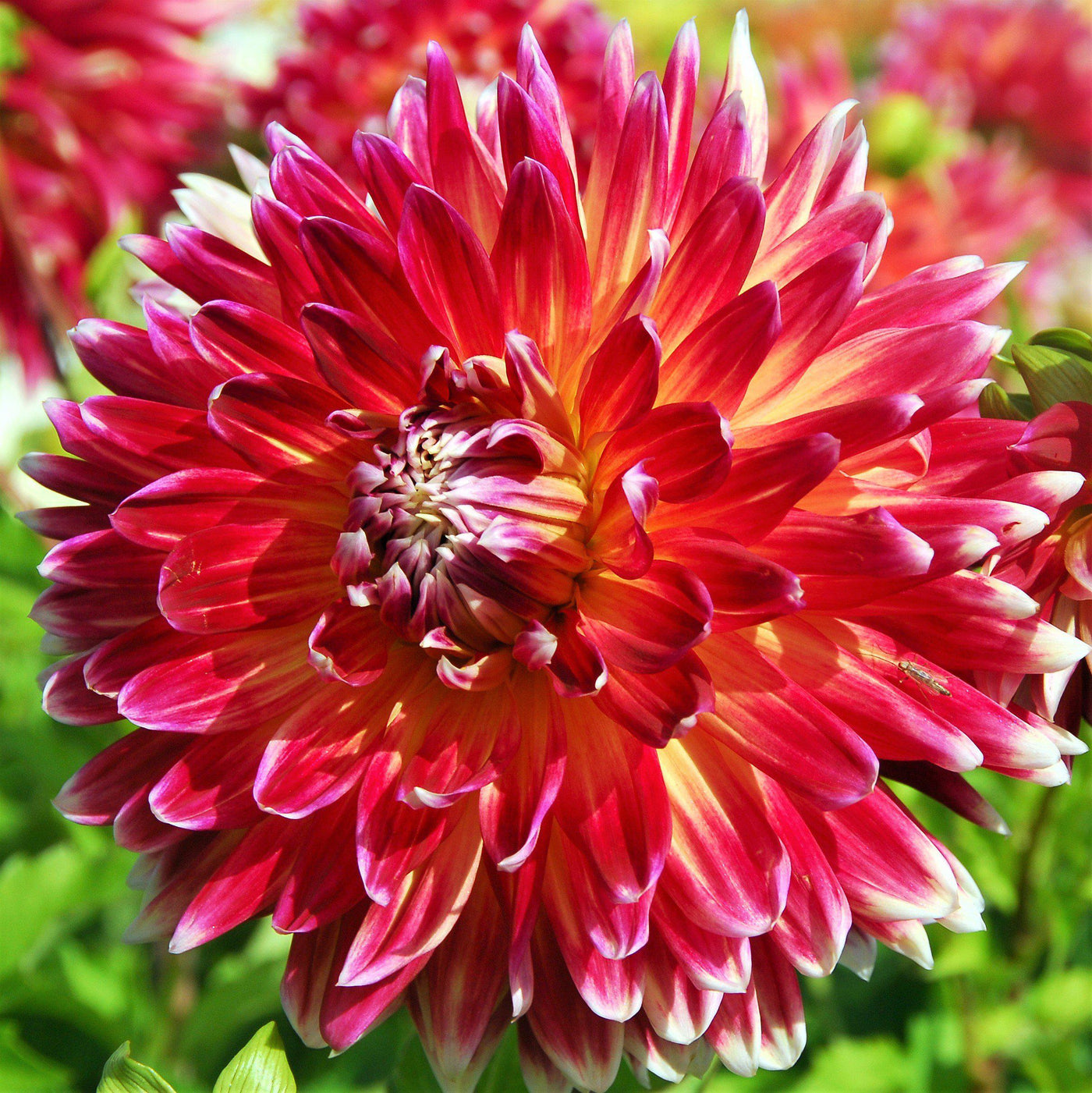 Dahlia Akita  sc 1 st  Easy To Grow Bulbs & Dinner Plate Dahlia Akita | Large Dinnerplate Dahlia Tubers \u2013 Easy ...