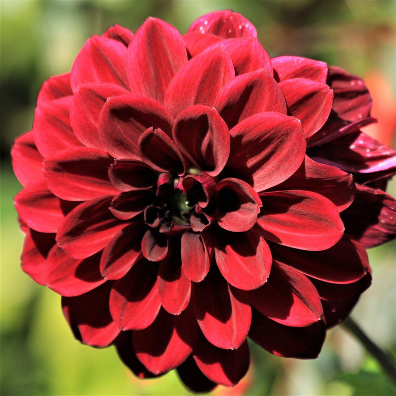 Arabian Night Dahlia Bloom