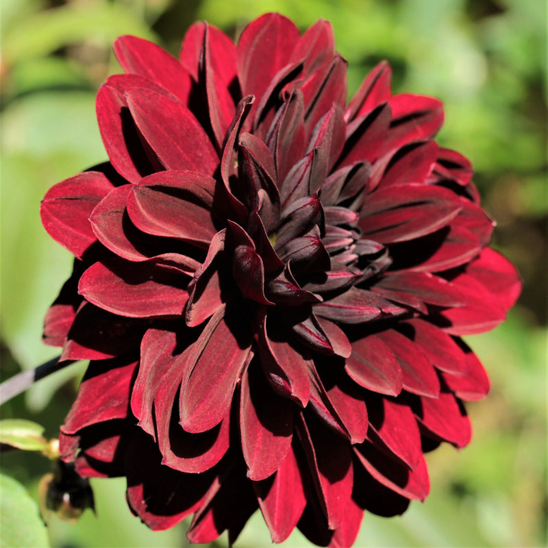 Purple Maroon Dahlia single bloom