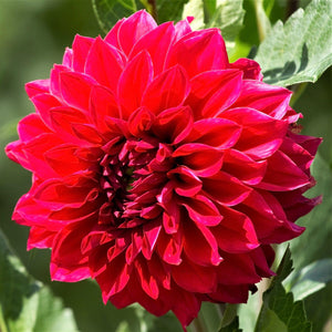 Bright Red Dahlia Bloom Close Up
