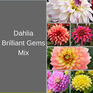 Dahlia Brilliant Gems Mix