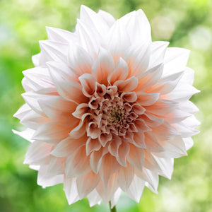 Cream & Peach Dahlia Bloom