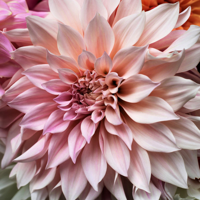 Cafe au Lait Royal Dahlia