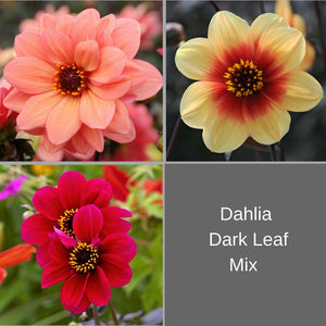 products/Dahlia_Dark_Leaf_Mix.jpg