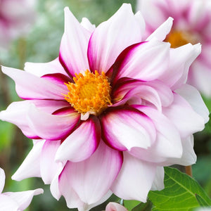 Edge of Joy Dahlia Bloom