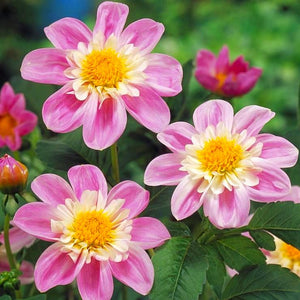 Multiple Impression Famosa Dahlias