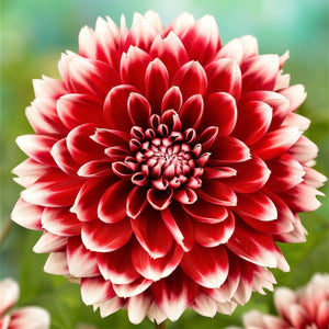 Fubuki Deep Red & White Dahlia