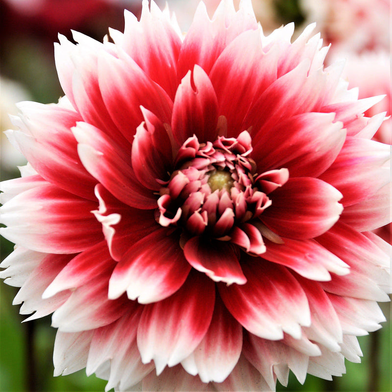Dahlia Fubuki Red and White