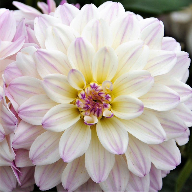 Gallery Monet White & Lilac Dahlia Bloom