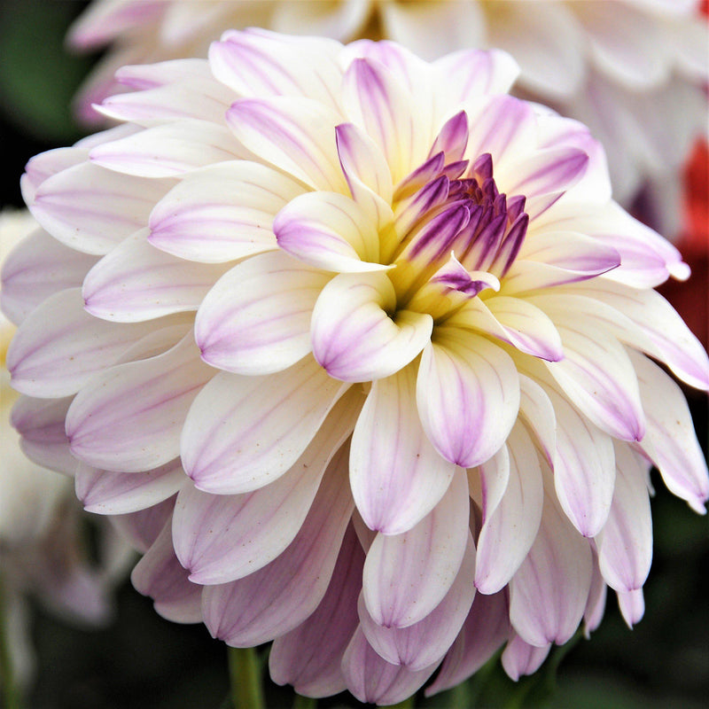 Gallery Monet White & Lilac Dahlia