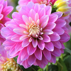 Gallery Rembrandt Soft Pink & Lilac Dahlia