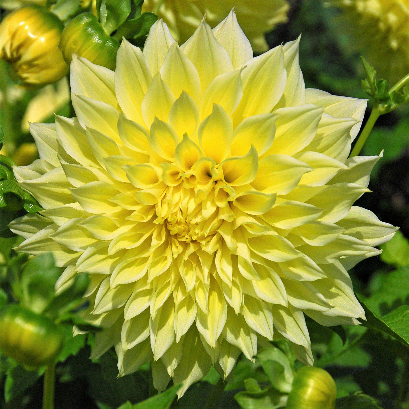 Dinner Plate Dahlia Kelvin Floodlight Yellow Dinner Plate Dahlia