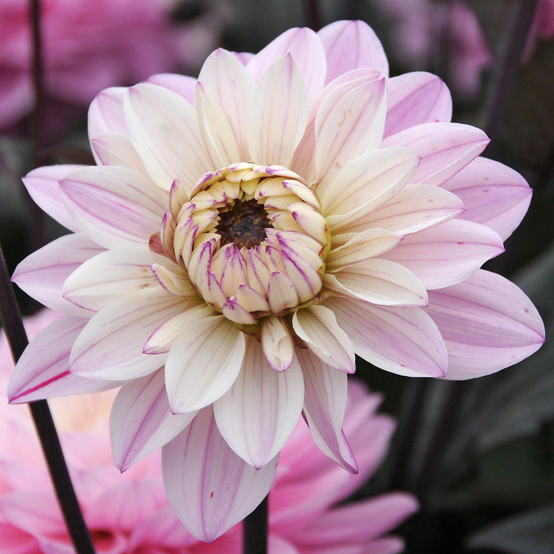 Melody Harmony Dahlia Bloom