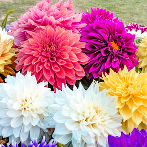 products/Dahlia_Mix_423560095.SHUT.jpg