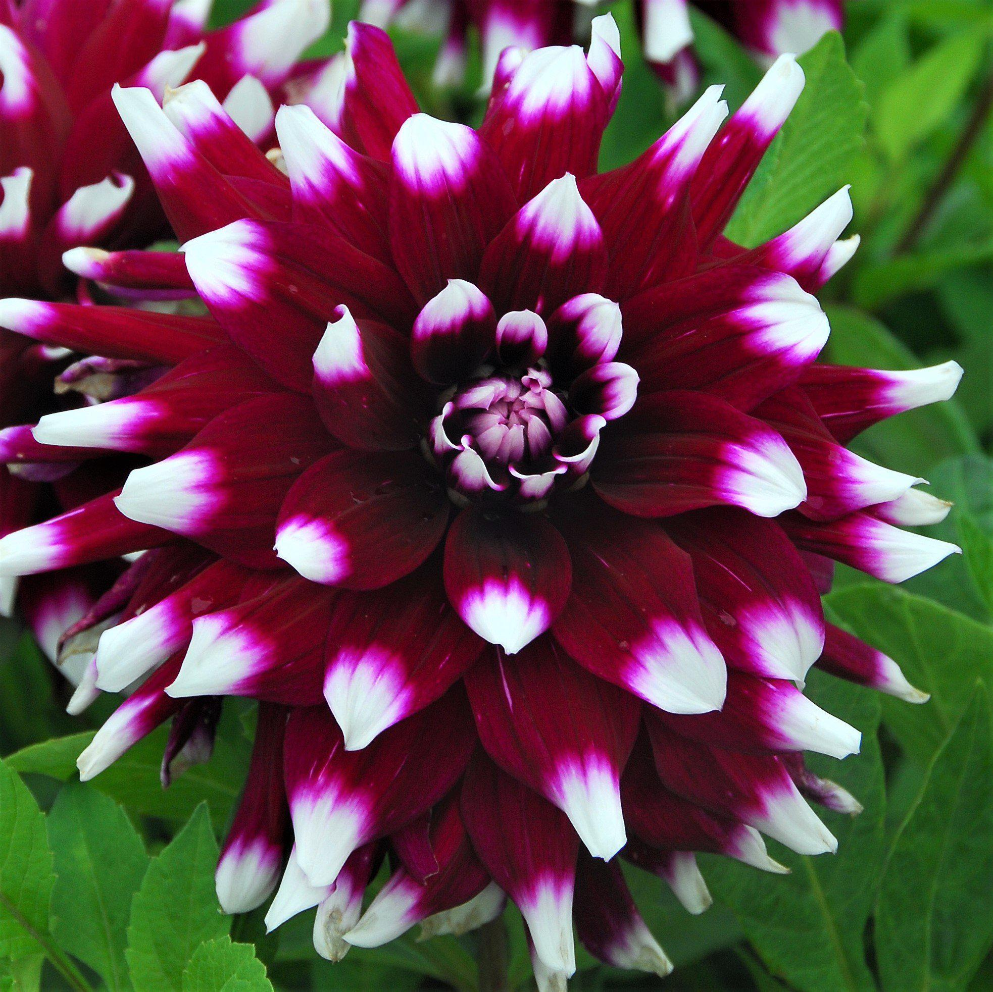 Dinner Plate Dahlia Mystery Day Wine Red With White