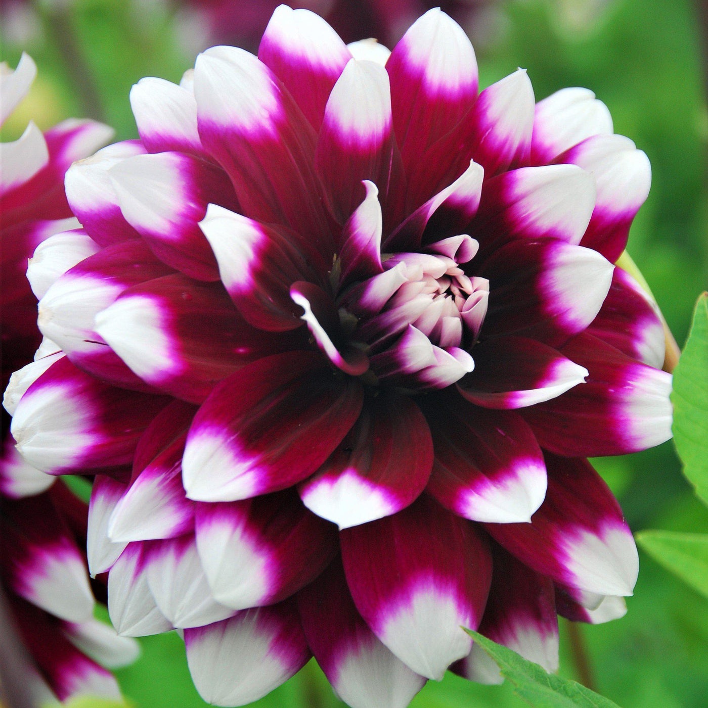 Dahlia Mystery Day & Dinner Plate Dahlia Mystery Day | Wine Red with White Dinnerplate ...