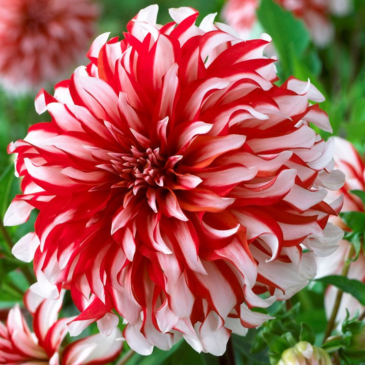 Dahlia Nick Senior Red And White Dinnerplate Dahlia