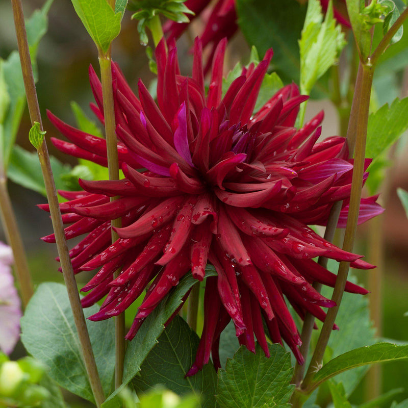 Planted Nuit d'ete Dahlia Close Up