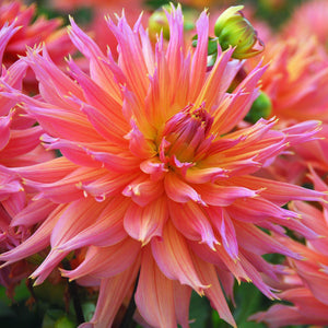 Omega Dahlias Blooming