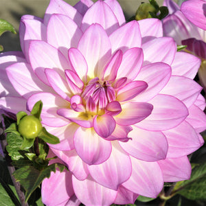 Oriental Dream Dahlia | Pink Yellow and White