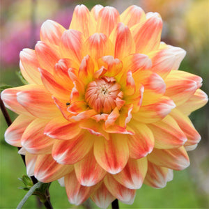 Peaches & Cream Large Dahlia Bloom