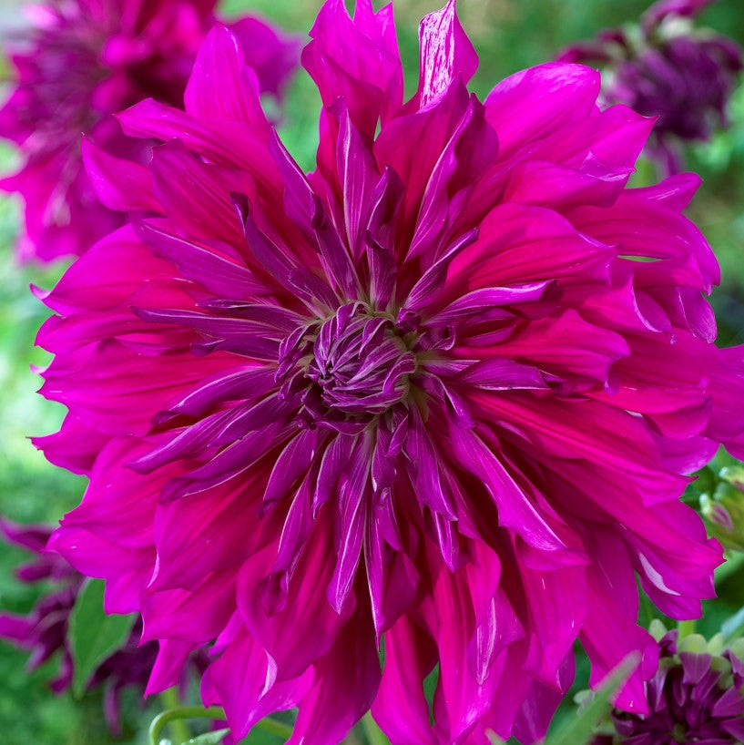 Dinner Plate Dahlia Taiheijo Over The Top Dahlia