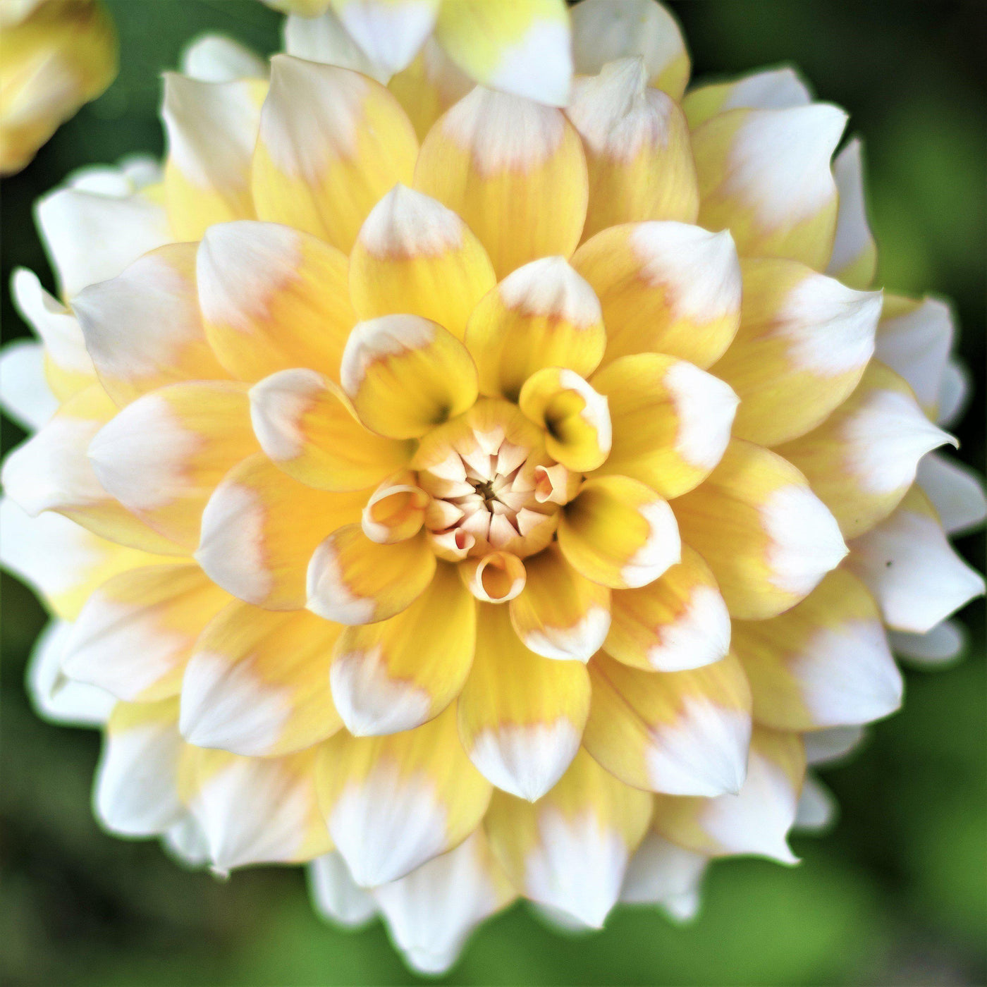Dinner Plate Dahlia Seattle Yellow And White Dinner Plate Dahlia