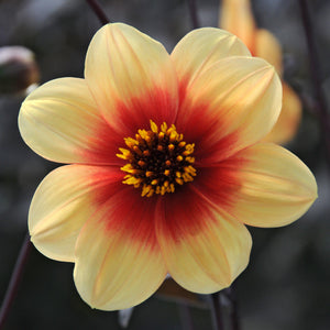 products/Dahlia_Sunshine.IBULB.jpg