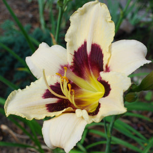 Ivory & Purple Daylily Plants For Sale | Moonlit Masquerade