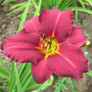 Daylily Pardon Me Single Flower