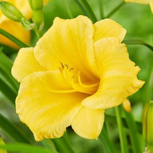 Stella d'oro daylily for sale