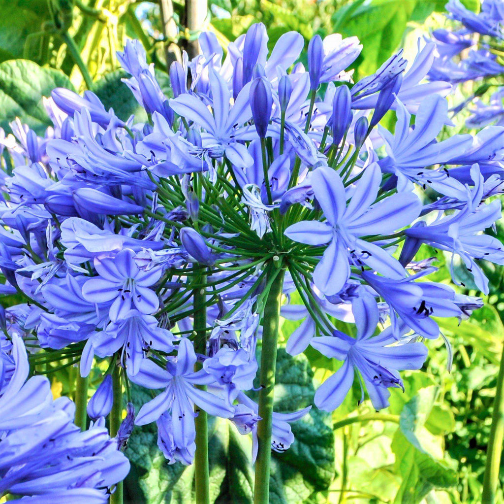 Agapanthus black buddhist blue lily of the nile bulb easy to agapanthus delft blue izmirmasajfo Images