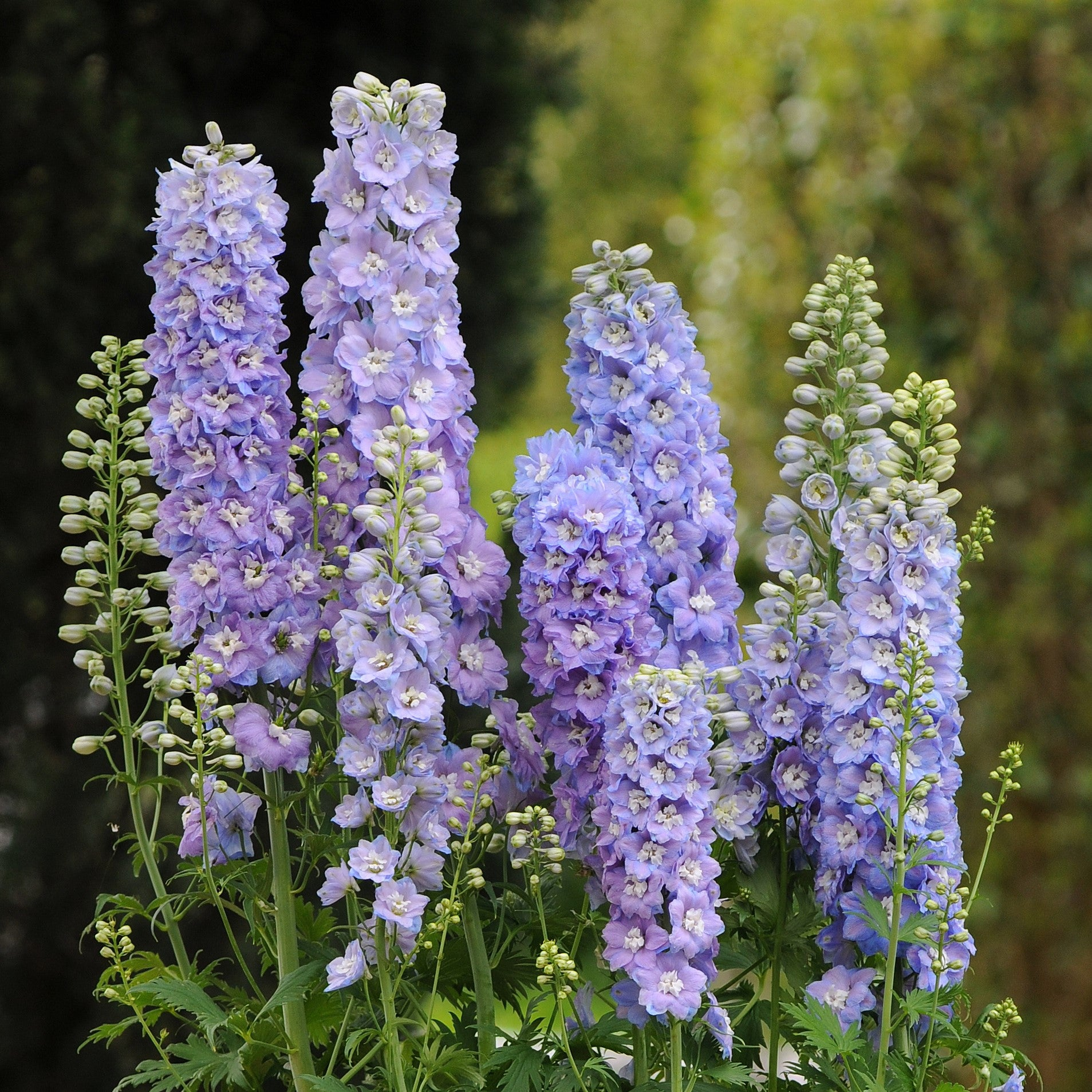 Delphinium Elatum Guardian Lavender Easy To Grow Bulbs