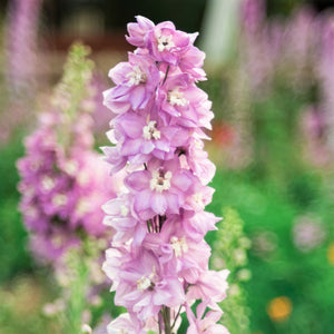products/Delphinium_Magic_Fountain_Cherry_Blossom.SHUT.jpg